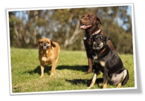 Dog walking clients Archie, Bo & Jasper enjoying the sunshine.
